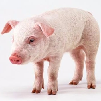 ✅属猪的人,11月定有大喜,46年一次,请为属猪的传一下!微页模板